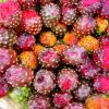 Frutos de pitayo
